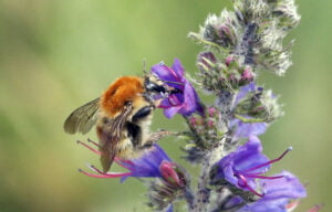 1.16.22 Brown-banded carder bee, Bombus humilis, Dave Clark