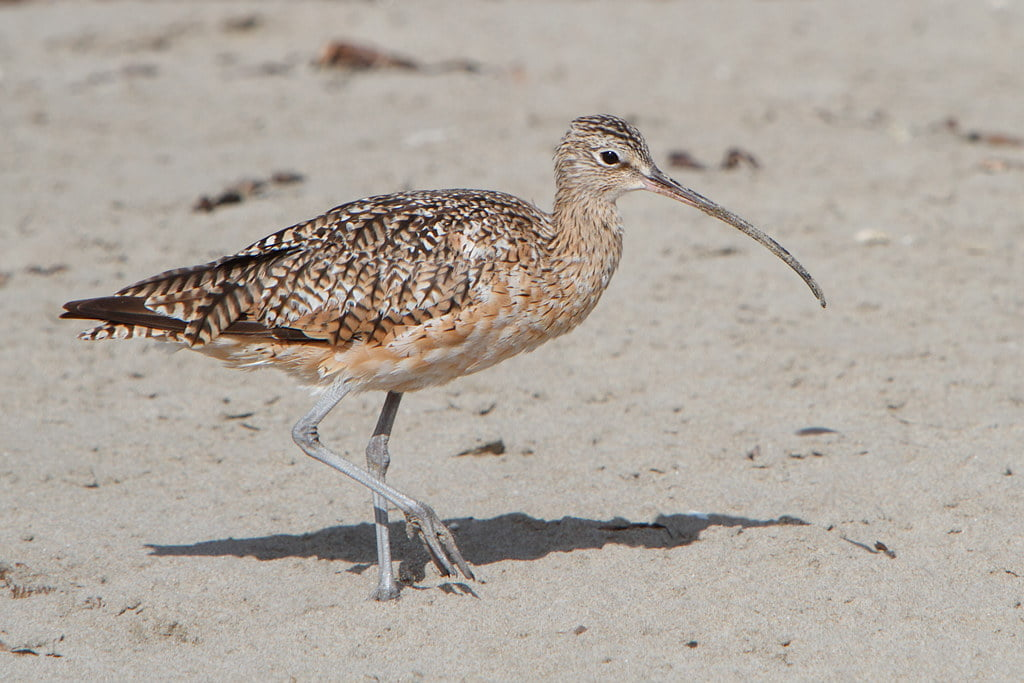 Long billed curlew on the beach by Alan Vernon. is licensed under CC BY-NC-SA 2.0