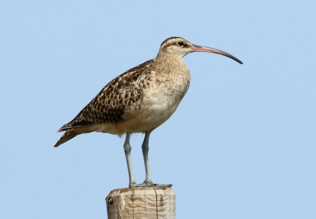 Bristle-thighed Curlew (Numenius tahitiensis) by Dominic Sherony