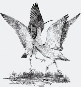 Chapter_3_-_Courting_Curlew
