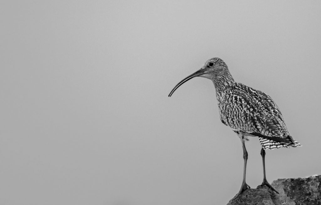 Curlew 008