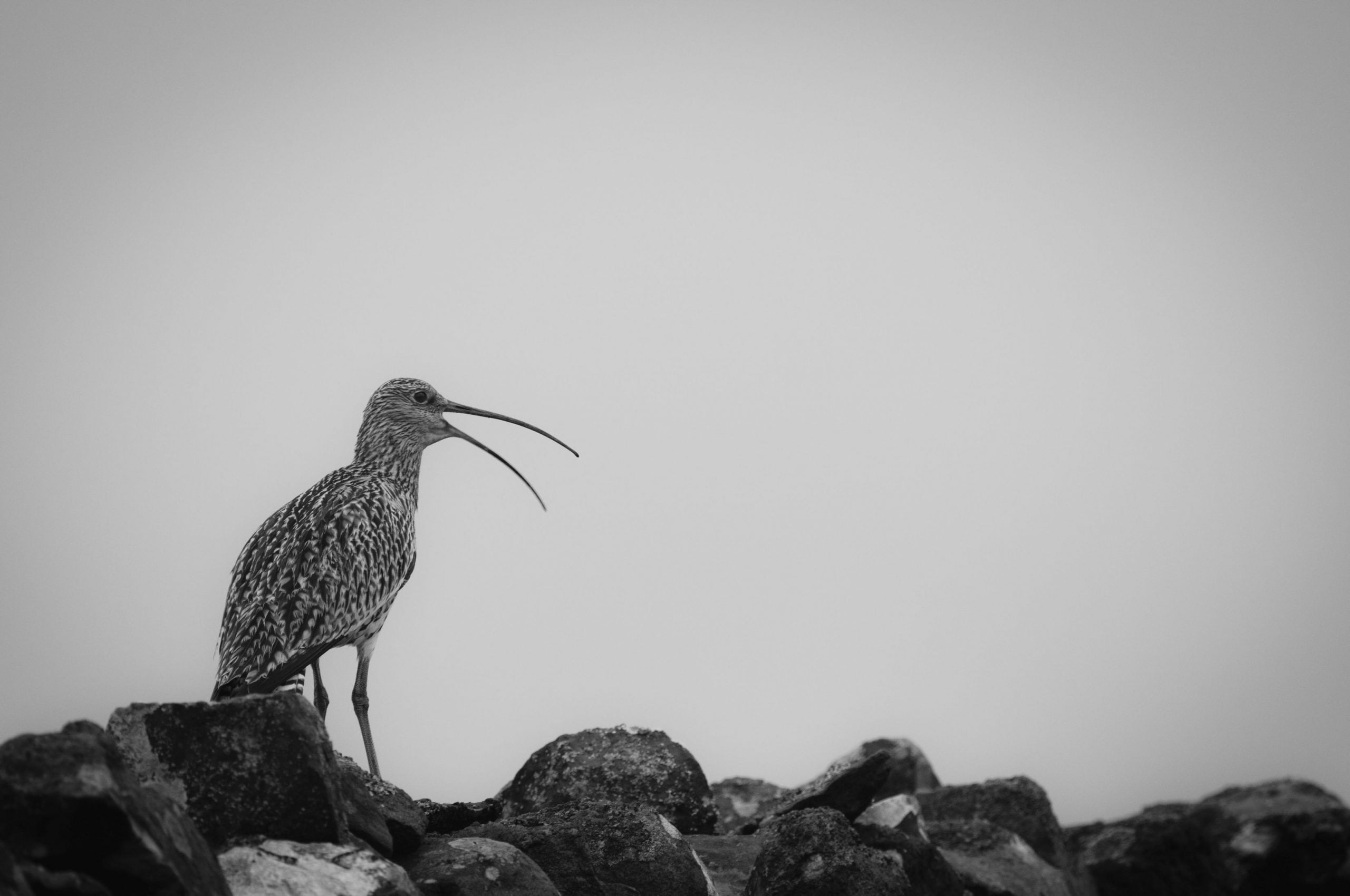 Curlew 010