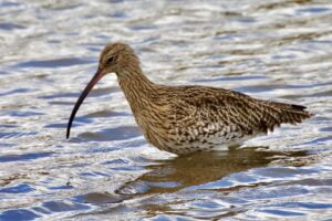 Curlew Wading photo