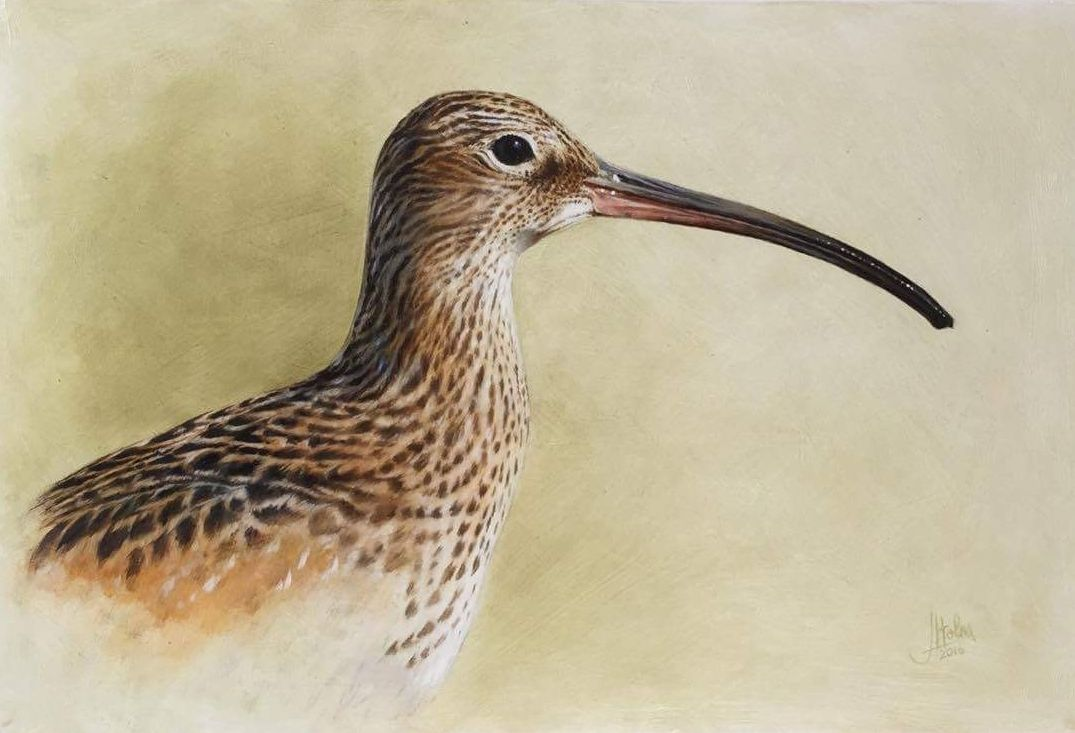 Curlew head by Jessica Holm