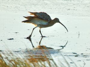 Curlew in Winter Sun at Low Tide