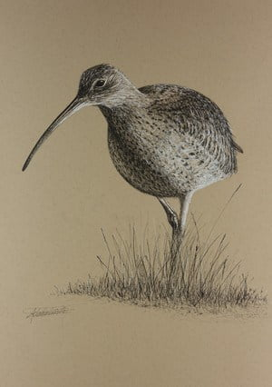 Curlew+1