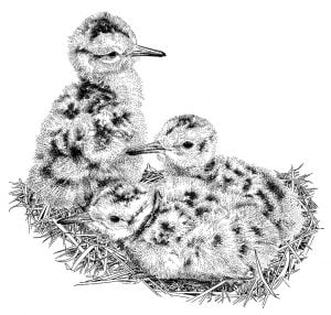 Curlew_Moon_Chapter_10_-_Young_Curlew_Chicks