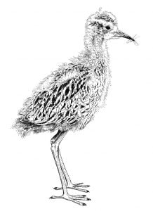 Curlew_Moon_Chapter_11_-_Fledgling_Curlew_Chick._