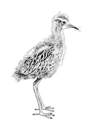 Curlew_Moon_Chapter_11_-_Fledgling_Curlew_Chick._-e1587220510518