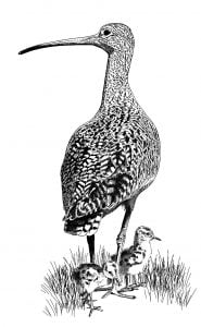 Curlew_Moon_Chapter_12_-_Curlew_And_Chicks