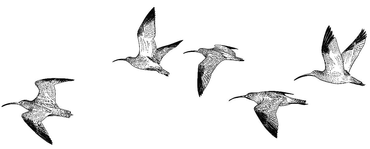 Curlew_Moon_Chapter_12_-_Curlew_In_Flight