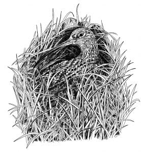 Curlew_Moon_Chapter_6_-_Curlew_On_The_Nest