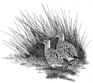 Curlew_Moon_chapter_12_-_Curlew_Pair