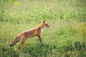 Fox Vincent van Zalinge