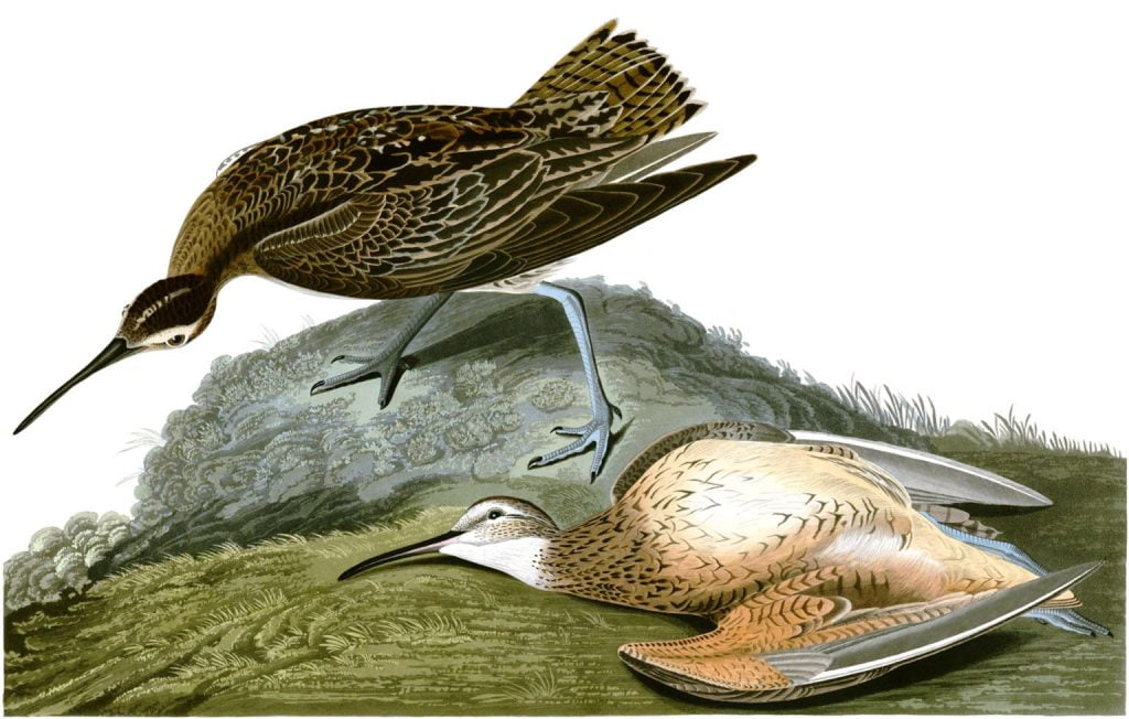 "John James Audubon, ""Esquimaux Curlew"", Birds of America , 1827- 838, Plate 300"