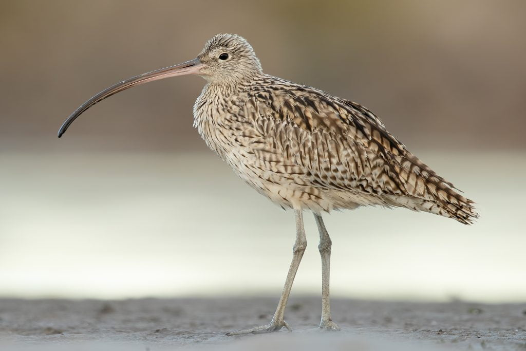Far Eastern Curlew (Numenius madagascariensis), Stockton Sandspit, New South Wales, Australia, by JJ Harrison