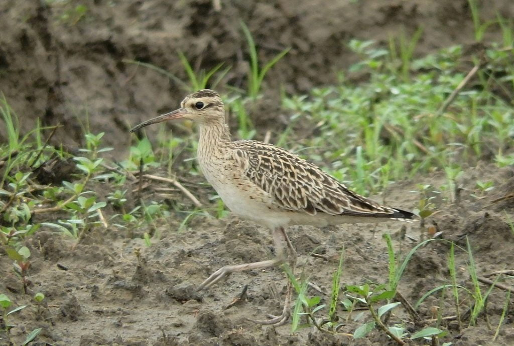 Little Curlew Numenius minutus, Taoyuan, Taiwan - by Lin Sun-Fong