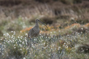 Tim Melling - Curlew in cotton grass