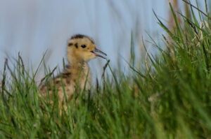 Tim Melling - chick1