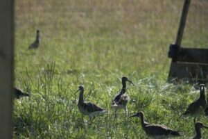 Young curlews