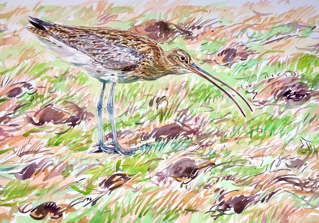 David Bennett Calling Curlew - Watercolour