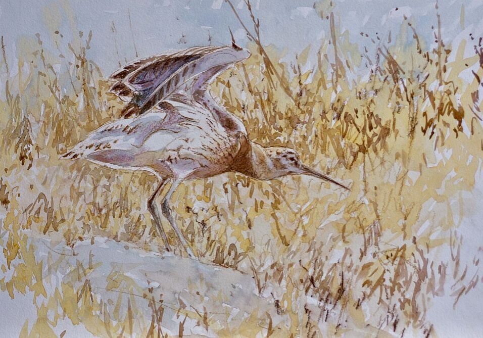 David Bennett - Juvenile Curlew - Watercolour