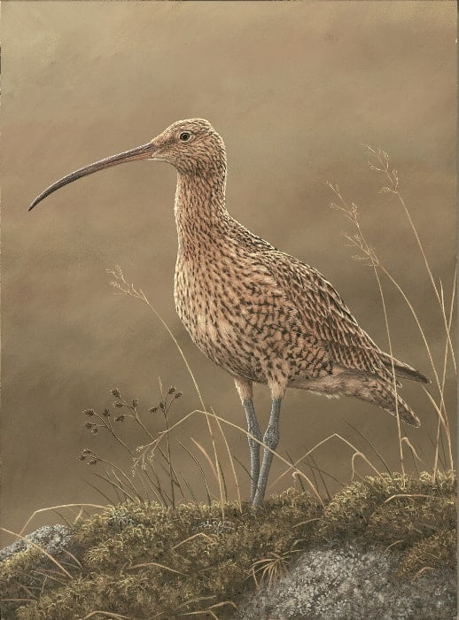 curlew700